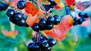 Сhokeberry, Рябина черная