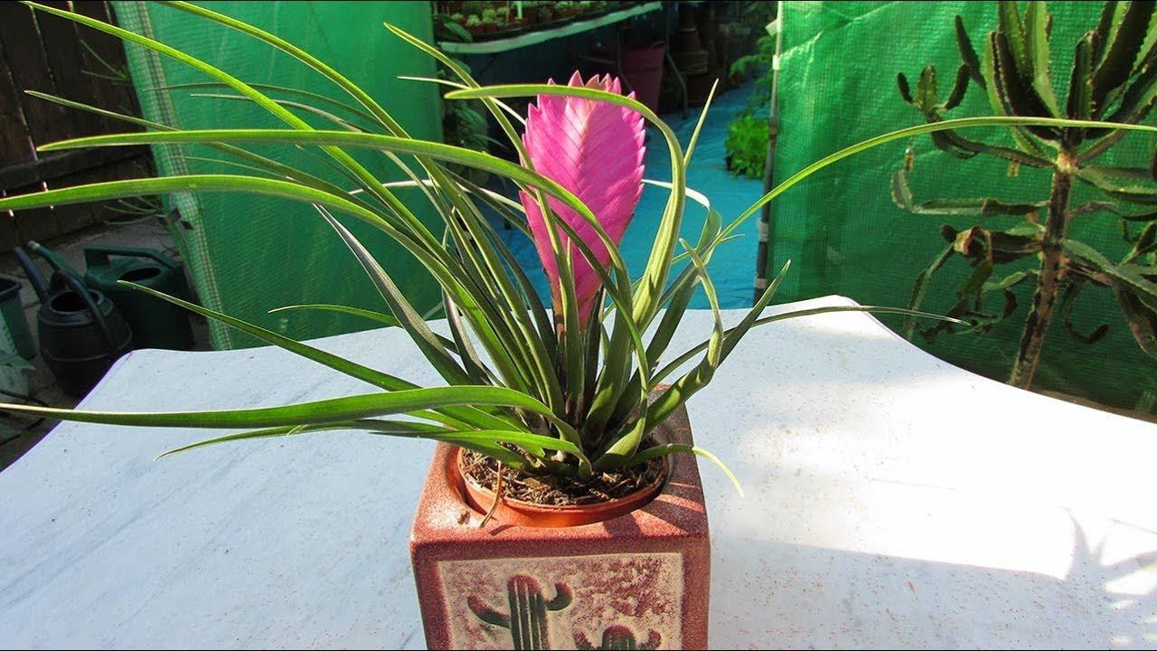 My Tillandsia Cyanea Pink Quill Air Plant Bromeliad Bargain