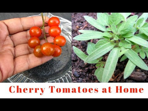 Tomatoes/ How to Grow Cherry Tomatoes at Home From Tomatoes
