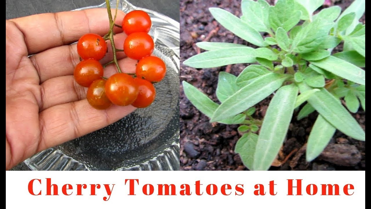 Tomatoes How To Grow Cherry Tomatoes At Home From Tomatoes Youtube
