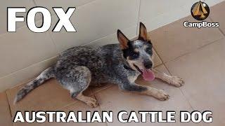 Adestrando um Australian Cattle Dog (Blue Heeler) de 6 meses