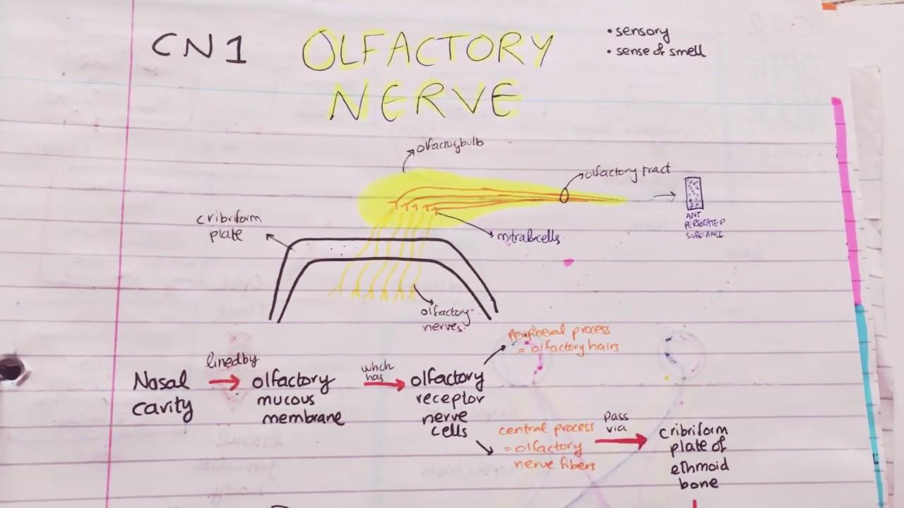 olfactory nerve path   lesions