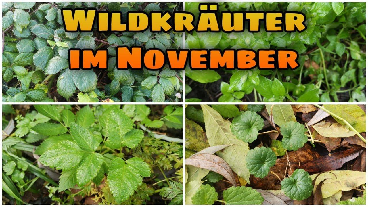 Wertvolle Wildkräuter im November finden! Für Ernährung und Gesundheit!