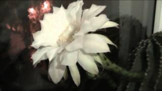 Ночью зацвел кактус Эхинопсис.