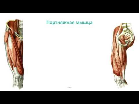 Мышцы пояса нижней конечности и бедра: топография, строение, функции