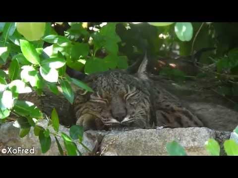 Lince-ibérico * Iberian Lynx