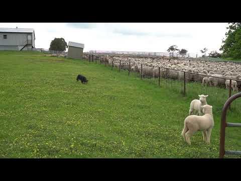 Eveready Bob on 2 lambs. Progeny now at Devonairs Kelpie Stud.