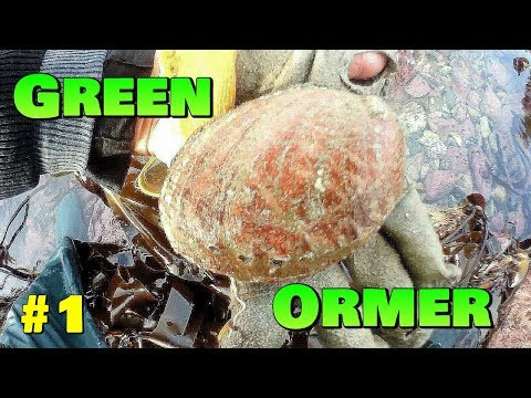 Gathering Green Ormers ,  Abalone  Part 1 - A Windy Day