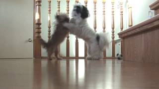 The Battle Begins...shih Tzu Vs. Shorkie