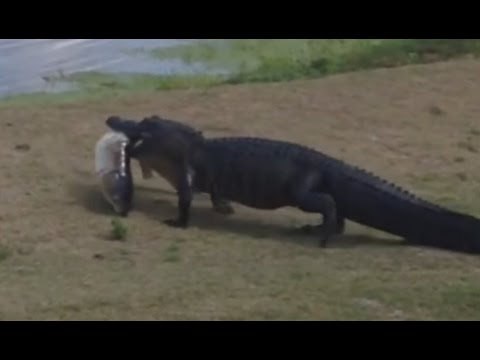 Alligator strolls across golf course carrying big fish | ABC News