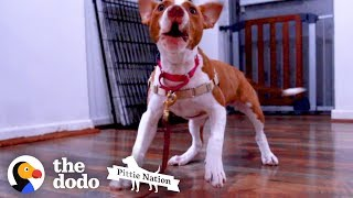 Tiny Puppy Saved From Dog Fighting Falls Into The Right Hands  | The Dodo Pittie Nation