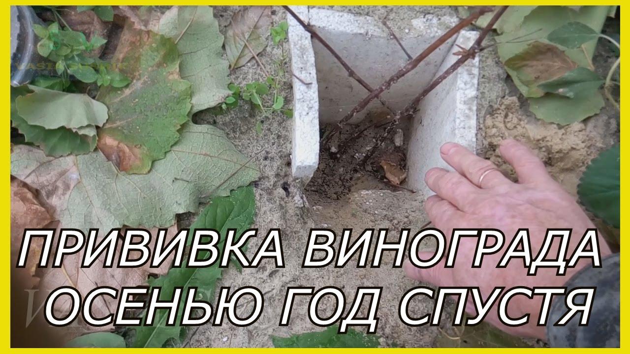 виноград прививка осенью