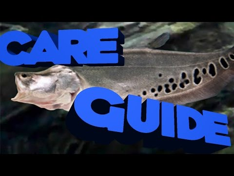 [HD]Complete Clown Knife Fish Care Guide
