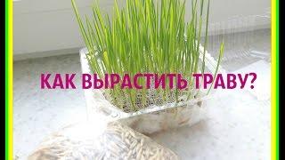 Как вырастить траву дома?#трава для грызунов, кошек, собак и попугаев
