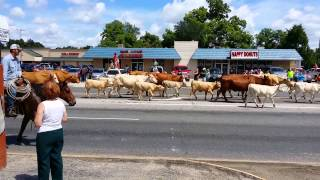 Cattle drive Dayton Texas
