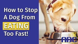How to Stop a Dog From Eating Too Fast   Animal Behavior College