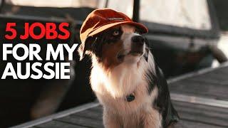 The 5 Jobs I Give My Australian Shepherd
