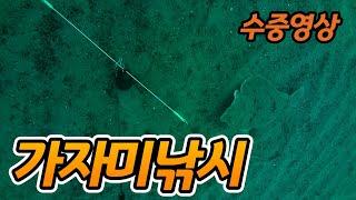 동해바다 가자미수중영상…