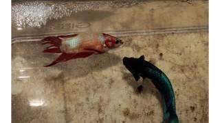 การเพาะเลี้ยงปลากัด