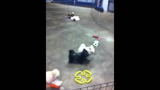 Maltese/poodles, Shih Tzu, Yorkie Puppies