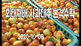 외대재배 사과대추(왕대추)본격 수확모습