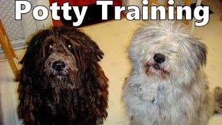How To Potty Train A Bergamasco Shepherd Puppy - House Training Bergamasco Sheepdog Puppies Fast