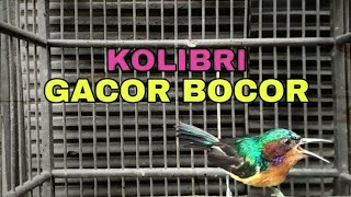Download Mp3 Suara Pikat Kolibri Wulung