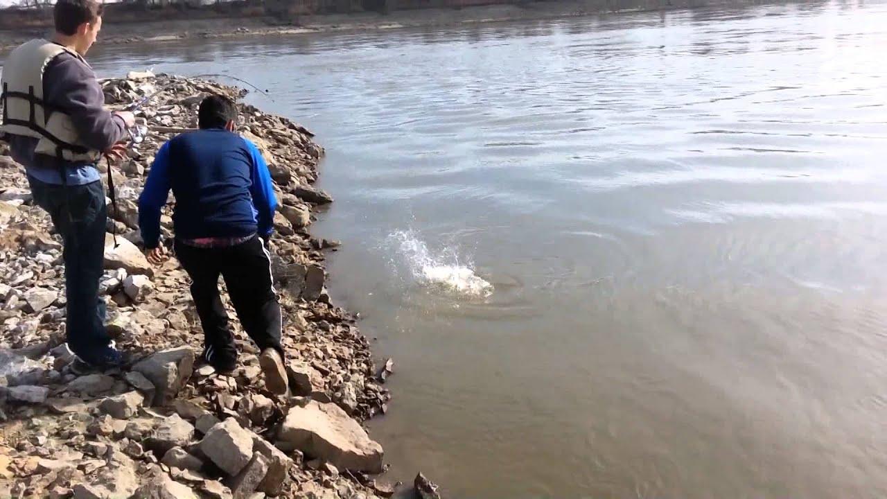 Missouri river fishing bigmouth buffalo fish catch 2015 for What is a buffalo fish