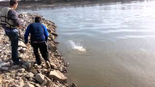 Missouri River Fishing -- Bigmouth Buffalo Fish Catch 2015