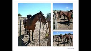 Lee Ranch, New Mexico - Rounding cattle for branding