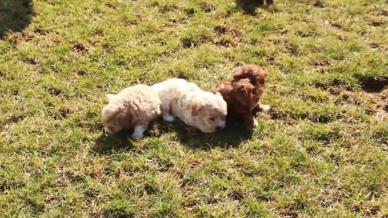 Havapoo Puppies for Sale!