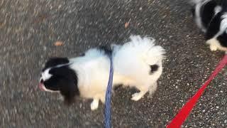みらいとまろが仲良く散歩しています。