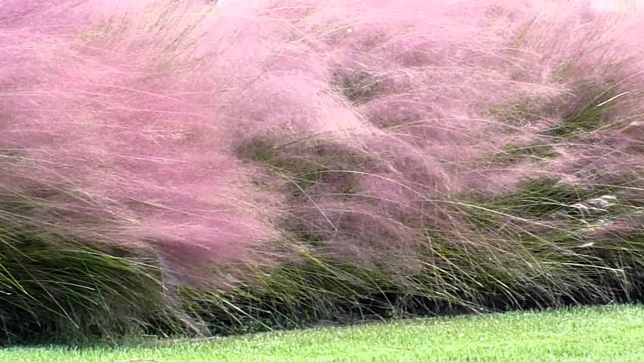 Cotton candy ornamental grass - Muhly Grass On Siesta Key