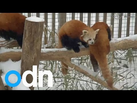ADORABLE red pandas frolick in the snow in New York zoo