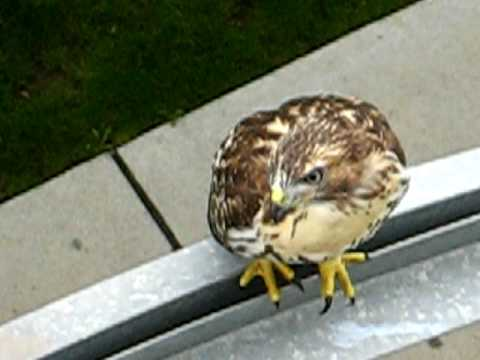 Red Tailed Hawk of Alewife Larry battle cry