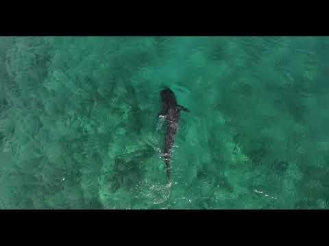 Tiger sharks after dead akule - Honolua Bay 6 29 18
