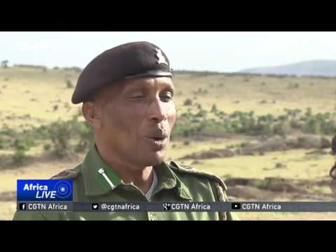 Maasai Mara's lion king attracts tourists from across the world
