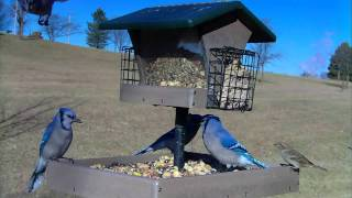 Backyard Bird Feeding : Tufted Titmouse, Chickadee, Goldfinch & Blue Jays