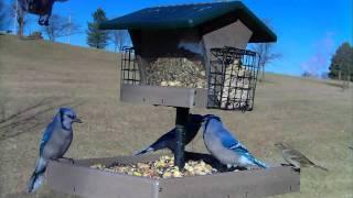 Backyard Bird Feeding : Tufted Titmouse, Chickadee, Goldfinch & Blue Jays