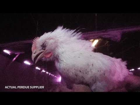 Watch: Perdue Workers Caught on Hidden Camera Stomping Birds to Death