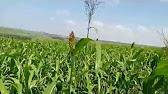 8 май 2013. Ценность сорго заключается в том, что данная культура имеет высокую. Веничное сорго — используется как техническая культура в.