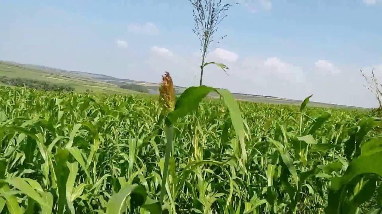 Выращивание веничного сорго - YouTube