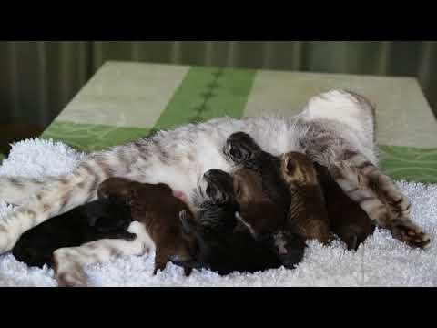 Британские котята в возрасте 4 дня (Litter-D2)