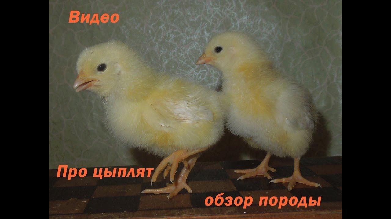 Чертеж брудера для цыплят своими руками фото 901
