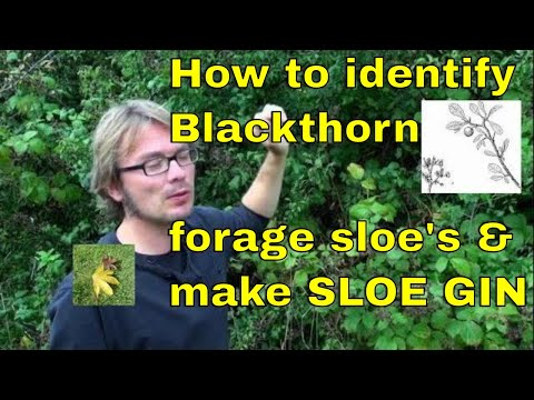 Tree id: How to forage sloe berries & make sloe gin (Blackthorn - Prunus spinosa)
