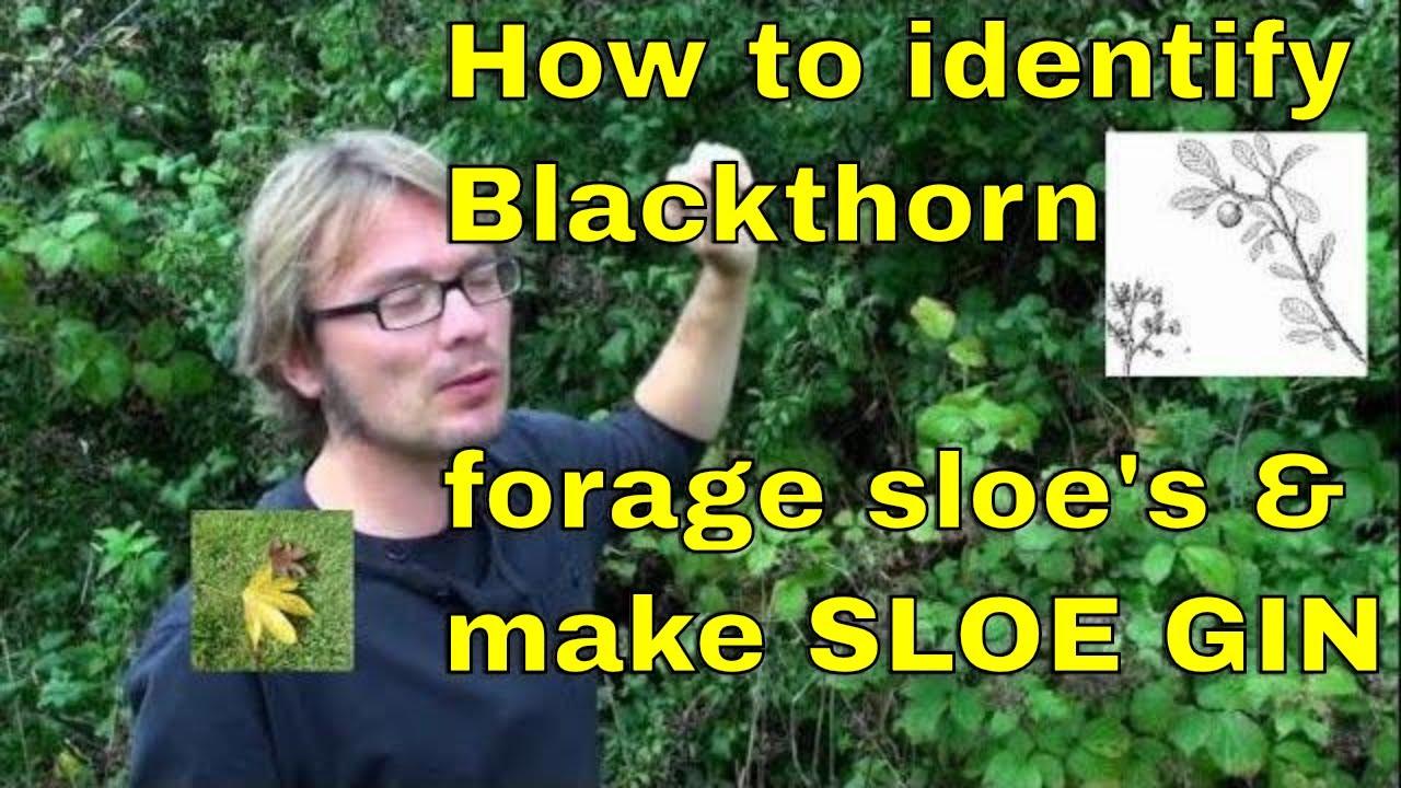 how to prepare sloe berries