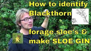 Video Tree id: How to forage sloe berries & make sloe gin (Blackthorn - Prunus spinosa) download MP3, 3GP, MP4, WEBM, AVI, FLV November 2017