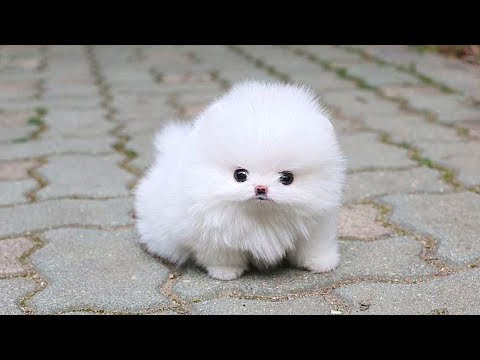 Cute Pomeranian Puppies Videos Compilation 2019   Cutest and Funny Dogs