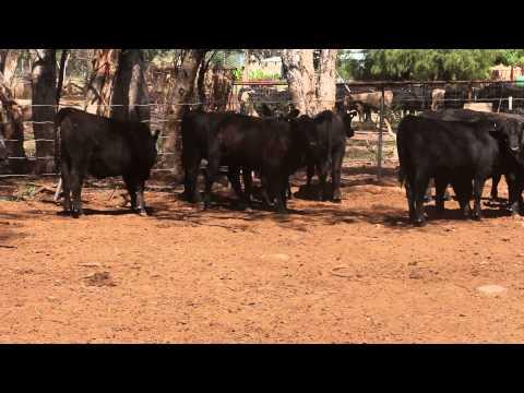 BODANGORA LIVESTOCK TRADING TRUST - WELLINGTON NSW