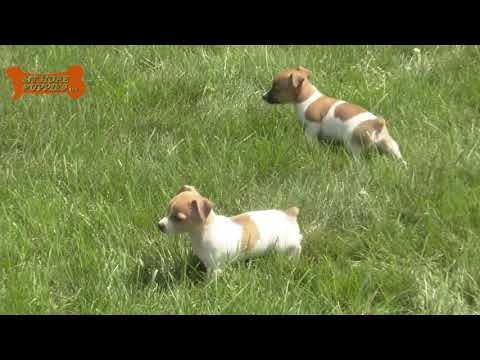 Wayne Mast's Toy Terrier puppies for sale